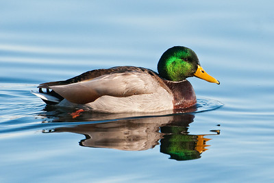Mallard - male - Lake Vadnais - Vadnais Heights, MN