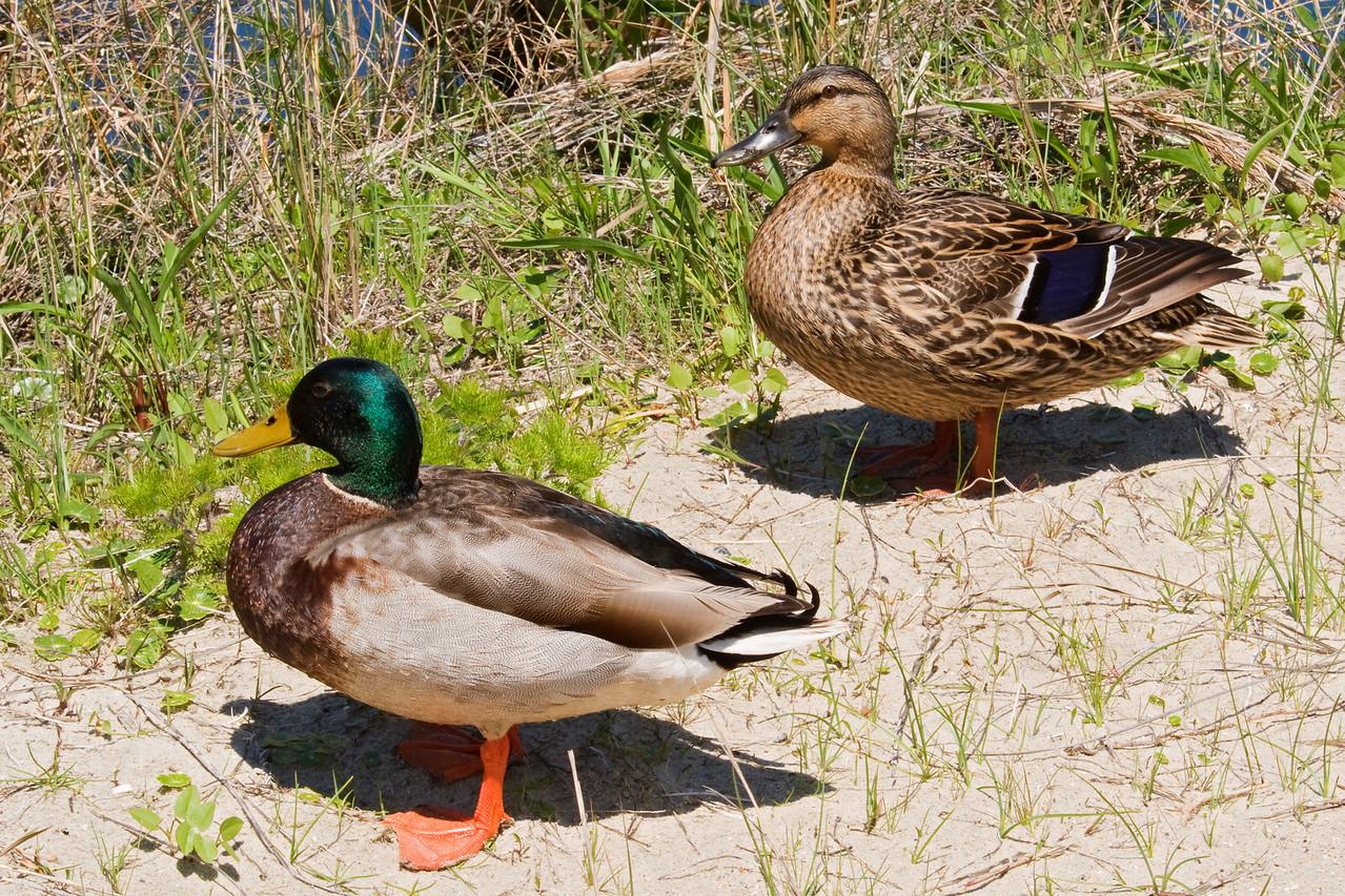 Mallard - male and female - South Point - Ocracoke Island, NC