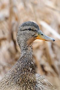Mallard - female - Crex Meadows - Grantsburg, WI
