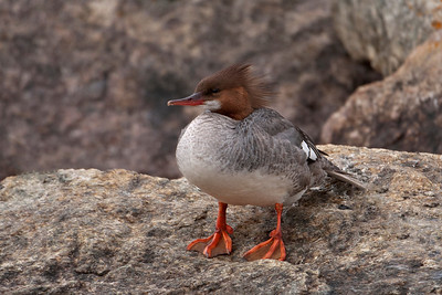 Merganser - Common - female - Grand Marais, MN - 04