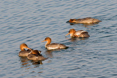 Merganser - Common - female - group - Grand Marais, MN