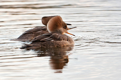 Merganser - Hooded - female - Sucker Lake - Shoreview, MN - 02