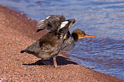 Merganser - Common - female - Grand Marais, MN - 02