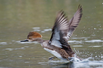 Merganser - Hooded - female - Wakulla Springs State Park, FL - 02
