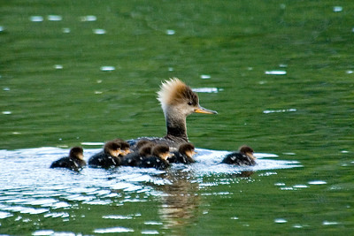 Merganser - Hooded - female and ducklings - Bovey, MN