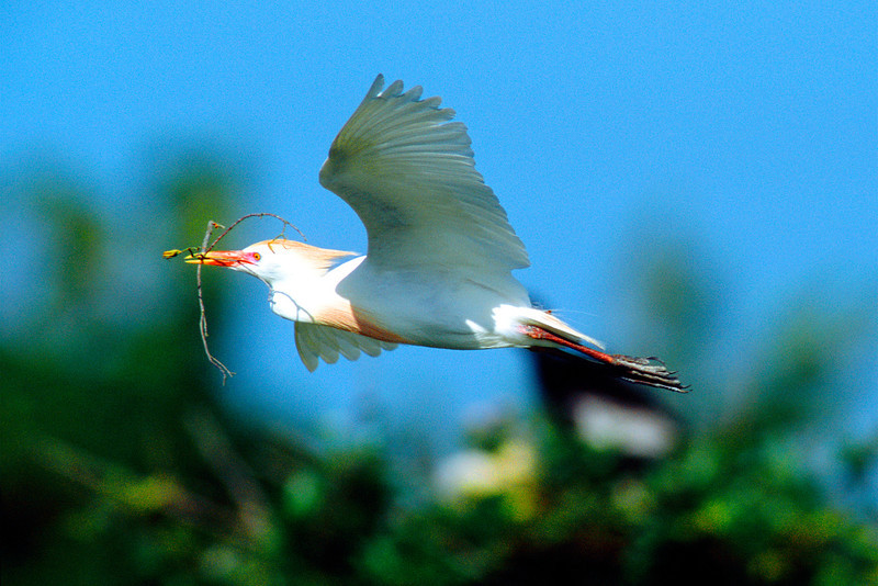Cattle Egret, Breeding Colors
