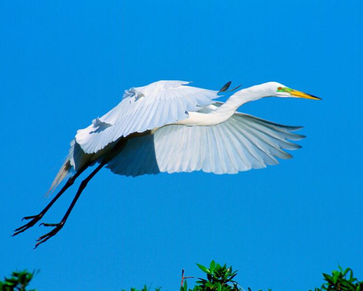 Common Egret, breeding color