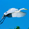 Common Egret, breeding color
