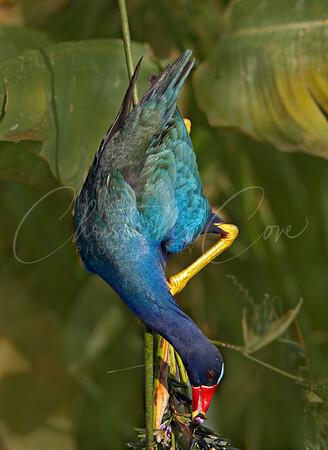 Purple Gallinule Feeding