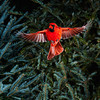 North America, USA, Minnesota, Mendota Heights, Male Northern Cardinal in flight