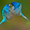 Male Indigo Buntings Fighting