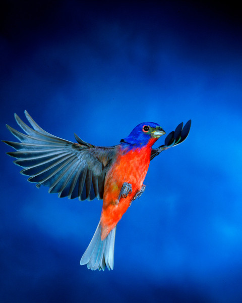 Painted bunting (male); Immokalee, Florida