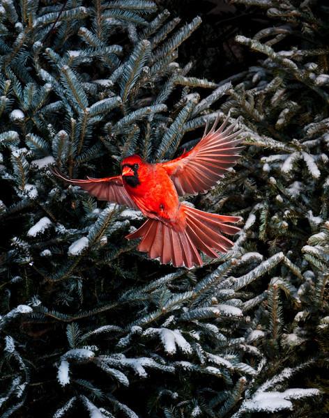 North America, USA, Minnesota, Mendota Heights, Male Northern Cardinal in flight