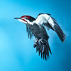 Pileated Woodpecker in flight