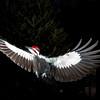 Pileated Woodpecker in flight