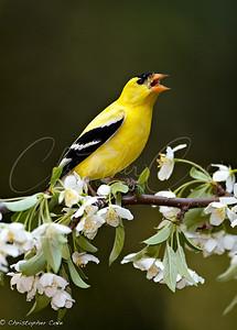 Goldfinch Sing