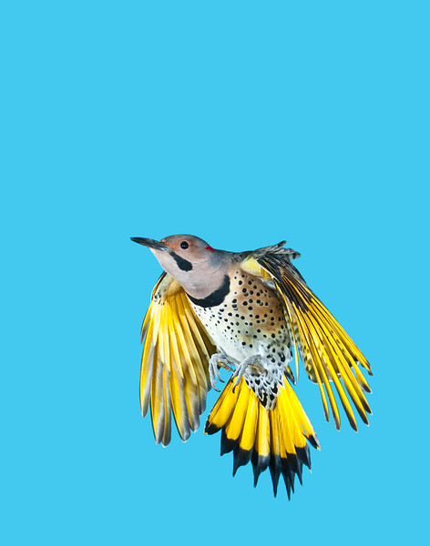 Northern (Yellow-shafted) Flicker