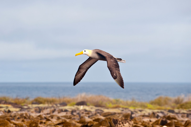 Ecuador, Galapagos Islands, Waved Albatross