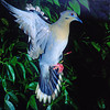 White-winged dove in flight taken in Immokalee, FL