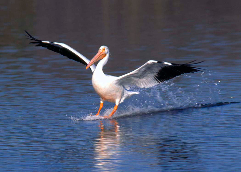White Pelican, Landing, Everglades