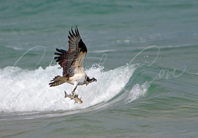 Osprey in Ocean with Fish