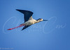 Black-necked Stilt inflight