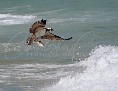 Osprey in Ocean