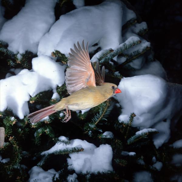 North America, USA, Minnesota, Mendota Heights, Female Northern Cardinal in flight