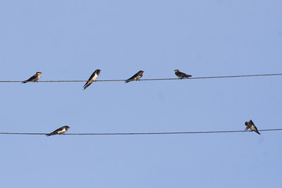 Pacific Swallows, Dobo airport