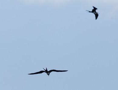 Lesser frigatebirds