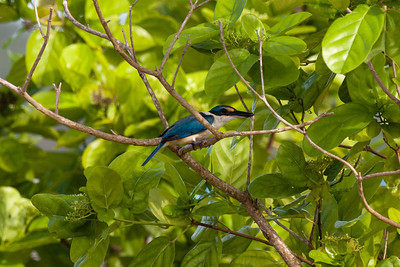 Sacred Kingfisher (Halcyon sancta), Dobo, Aru Islands, Indonesia