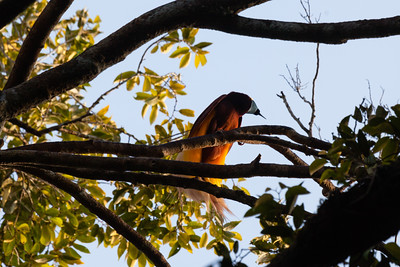 Greater bird of paradise, Wokam Island, Aru