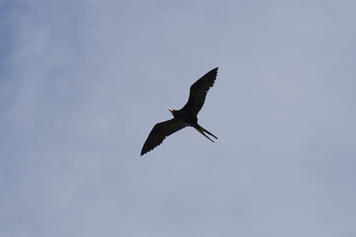 Great Frigatebird, Dobo
