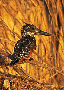 Giant Kingfisher 210 x 297 300 dpi  6408-2.jpg