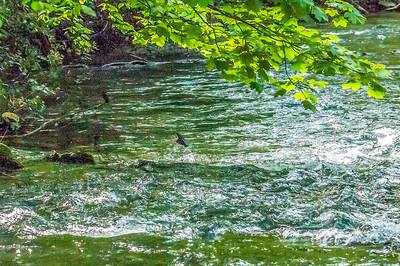 2016-05-08 R Frome Dippers Kingfishers Grey Wagtails-3522-Edit-Edit-Edit-Edit-Edit-2-2.jpg