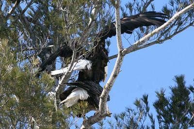 Large Birds Mating