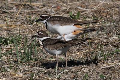 Medium Birds Mating