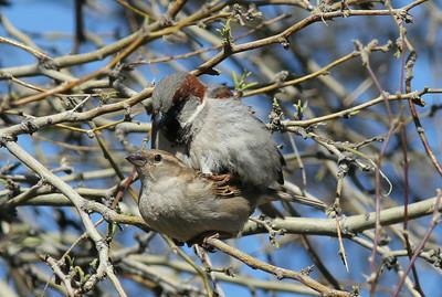 Small Birds Mating