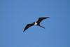 Magnificent Frigatebird, Playa del Carmen, Mexico, Jan. 5, 2011<br /> Pelecaniformes; Fregatidae; Fregata magnificens