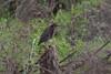Green Heron, Puerto Vallarta, Jan 4, 2010<br /> Ardeidae; Butorides virescens