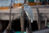 Great Egret, San Blas, Mexico, Jan 5, 2010<br /> Ardeidae; Ardea alba