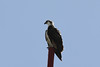 Osprey, Tulum Mexico, Jan 6, 2011<br /> Pandion haliaetus