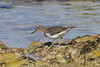 Spotted Sandpiper, Tulum, Mexico, Jan 6, 2011<br /> Scolopacidae; Actitis macularia