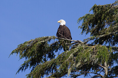 Bald eagle (Haliaeetus leucophalus)