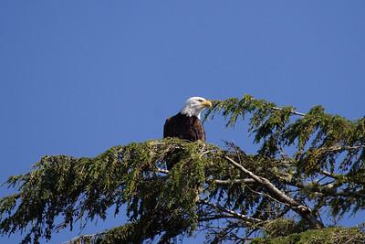 Bald eagle (Haliaeetus leucophalus)
