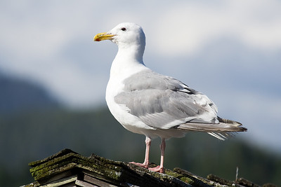 Glaucous-winged gull (Larus glaucescens