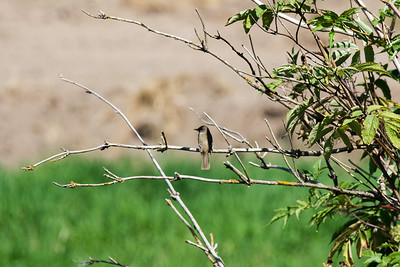 Willow flycatcher (Empidonax trailii)