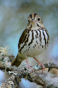 Ovenbird - Forest Road 158 - Cook County, MN - 02