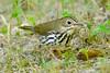Ovenbird - Dunning Lake - Itasca County, MN