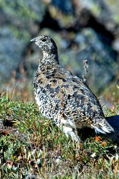 Ptarmigan - White-tailed - female - Rocky Mountain National Park, CO - 01